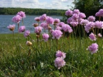 Armeria maritima ssp. elongata